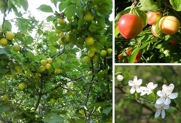 Kirsebærblomme
